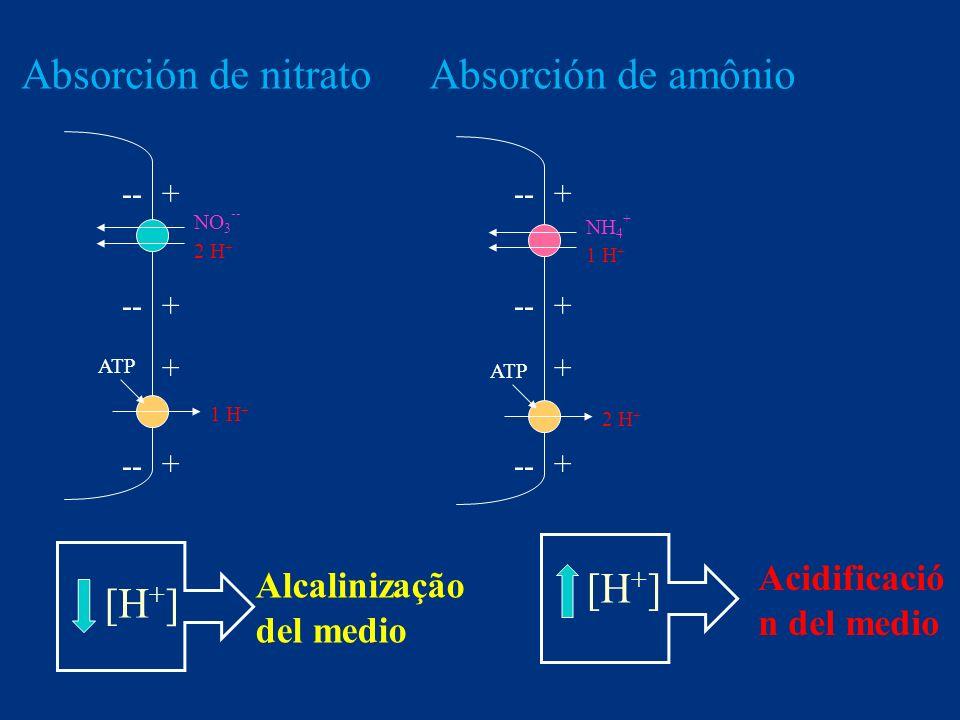 Absorción de nitrato Absorción de amônio [H+] [H+]